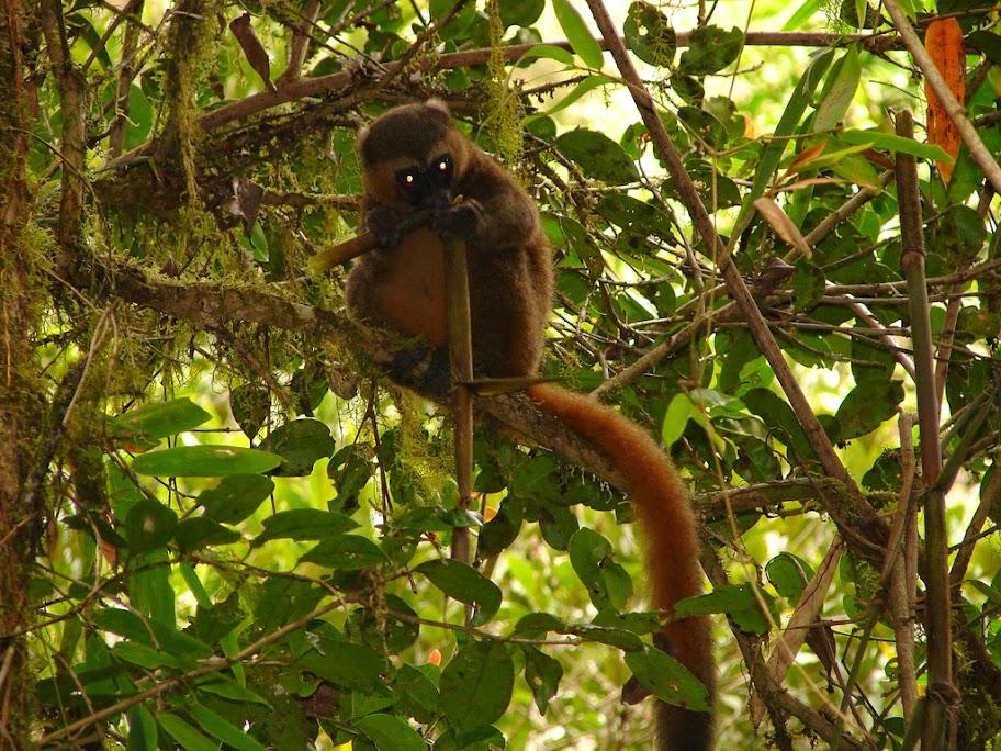 Golden Bamboo Lemur, Madagascar