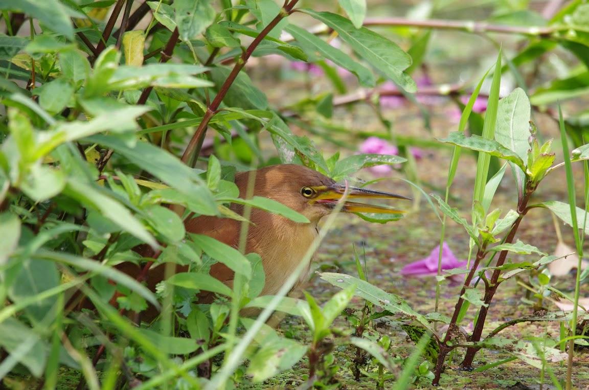 台北植物園 - 栗小鷺