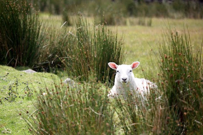A sheep in the grass in the Eden Valley in Cumbria England