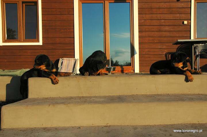 Rottweilery odpoczywają intensywnie