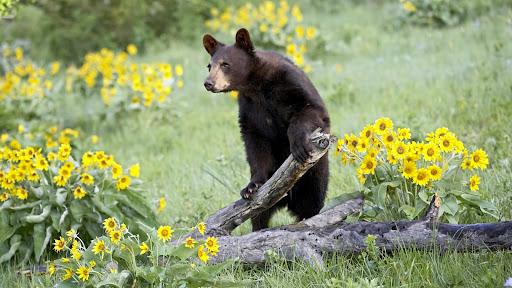 Black Bear, Bozeman, Montana.jpg