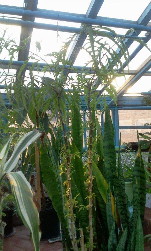 Помогите опознать растение, может быть гревиллея? 87161_481x800_0363