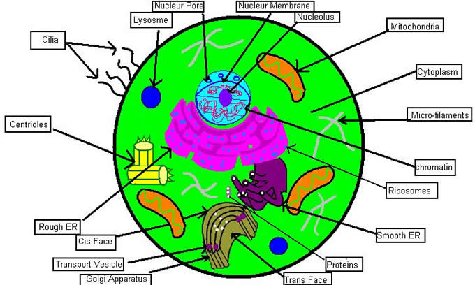 Animal cell diagram biology corner wiring diagram 5 creative ways to teach the cell rh biologycorner com plant cell diagram for 7th graders ccuart Choice Image