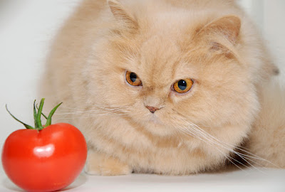 Cat's staring at tomato