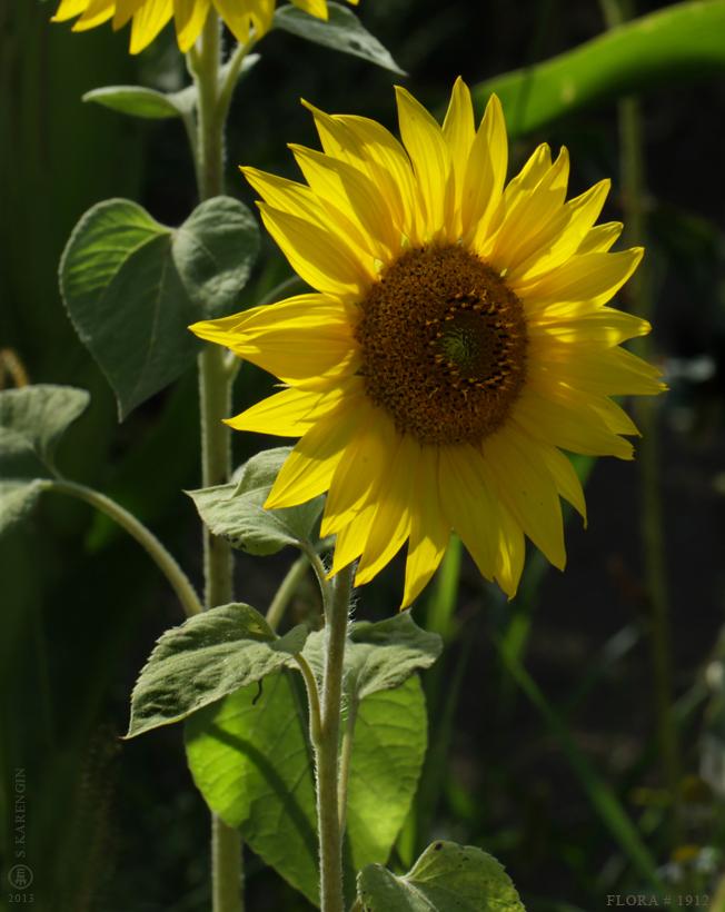 photo, подсолнух, фото, растения, познавательное, подсолнечник, helianthus