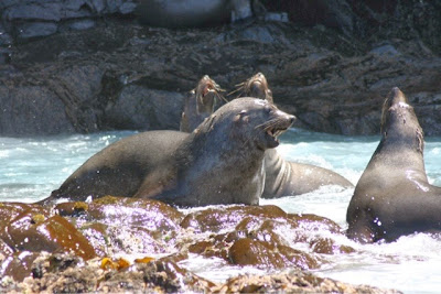 seals in Brunny Island