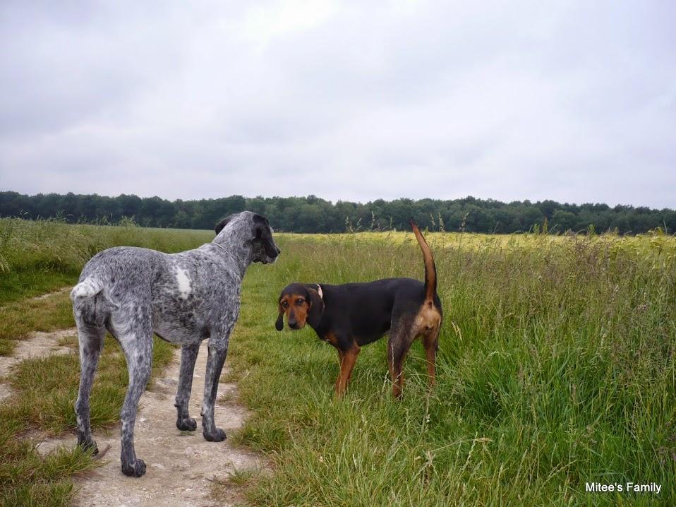 """Evolution """"physique"""" de vos chiens - Page 3 P1060775"""