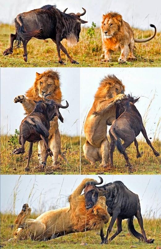 https://lh5.googleusercontent.com/-ho_vLa984O8/VDayAY4fdUI/AAAAAAAAa8Q/GIoIEfWHaw0/w521-h805-no/Lion-takes-down-Wildbeest_all.jpg