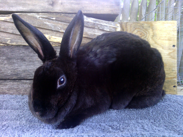 Solid Black Mini Rex