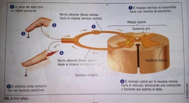 ciencias naturales TIPOS DE SISTEMAS NERVIOSOS