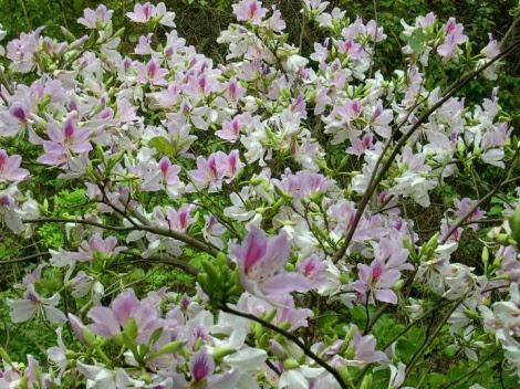 Tháng Ba lên cao nguyên ngắm hoa ban trắng Mộc Châu