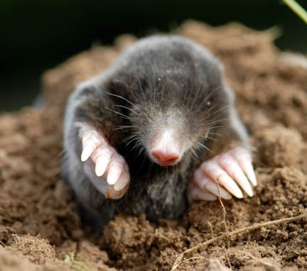 Dangerous Of Wild Animals Mole