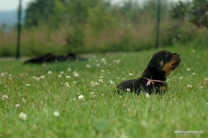 mały rottweiler w trawie