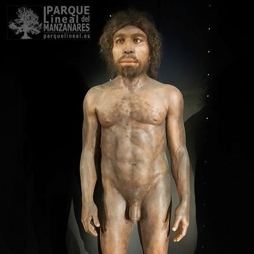 Homo rhodesiensis. El más directo ancestro africano del sapiens. Museo de la evolución. Burgos.