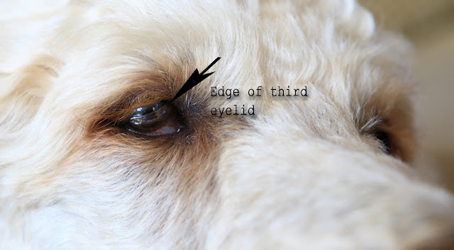 White Bump On The Corner Of Dogs Eye