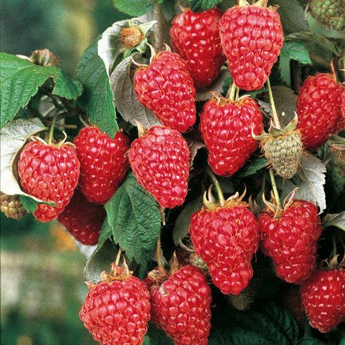 Херитейдж малина (Heritage Raspberry) саженцы малины Херитейдж трезе купить
