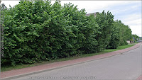 Corylus avellana - Leszczyna pospolita przykład zastosowania w zieleni miejskiej