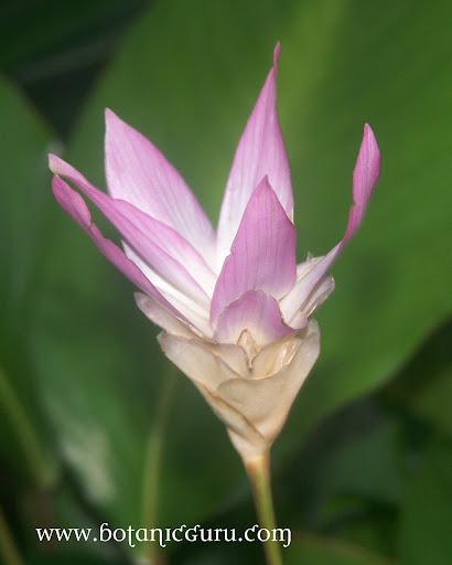 Calathea loeseneri, Star Calathea flower bract side view