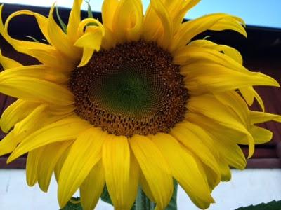 sunflowers massage trosor med öppen gren