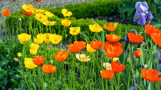 Iceland Poppies and Iris.jpg