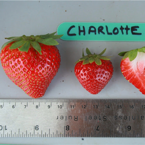Charlotte Strawberry Шарлотта клубника)
