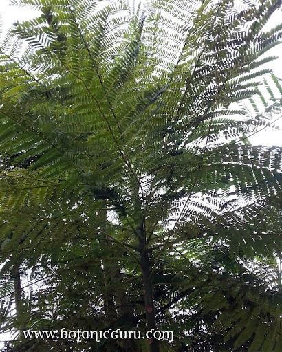 Schizolobium parahyba, Tower Tree