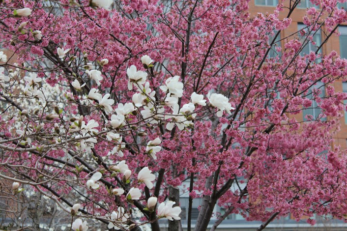 a white magnolia and a pink pome tree