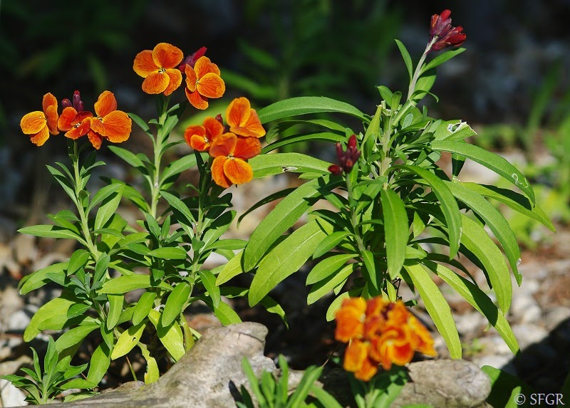 Seeds For Green Roofs Erysimum Cheiri Early Spring Green