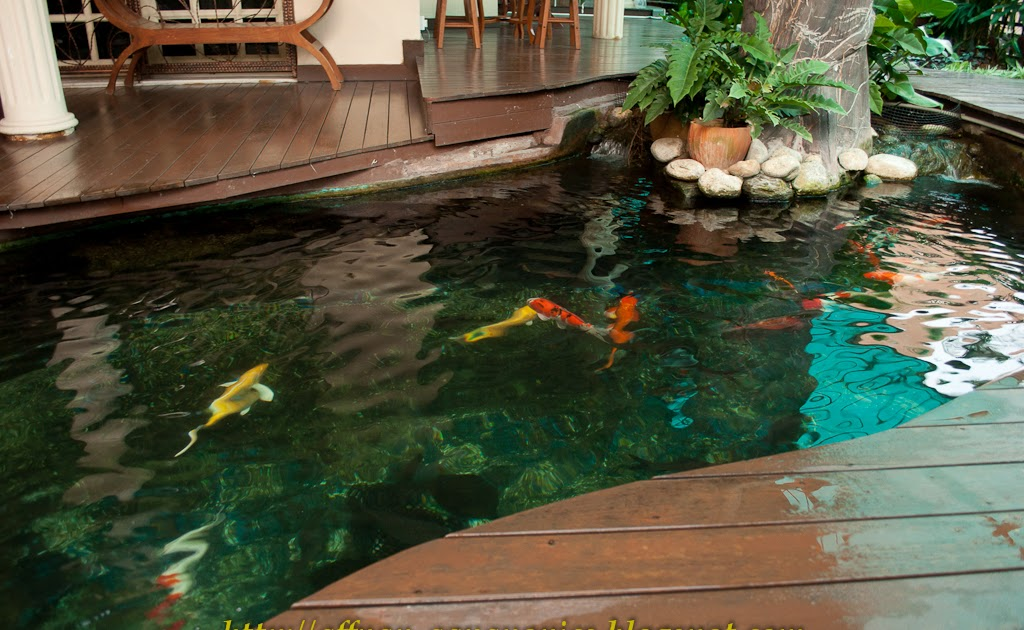 Aquaponics koi pond waters sistem for Ornamental fish pond supplies