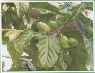 Indian Mulberry - Medicinal Plants healing