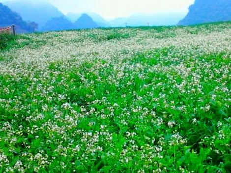 Moc chau pys travel018 Mộc Châu hoa dại ướt sương giăng