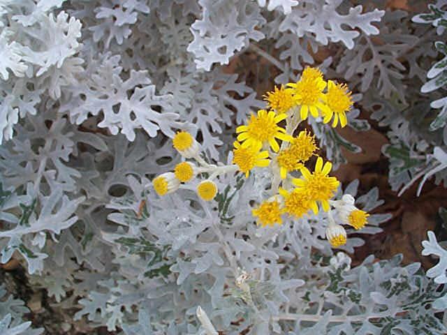 Fiori piante e giardini del mondo cineraria marittima for Giardini fioriti tutto l anno