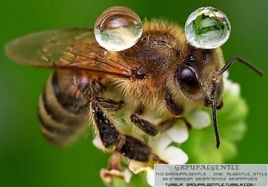 """بالصور.@.النحلة """"ميسي"""" تحمل قطرات الماء ظهرها"""