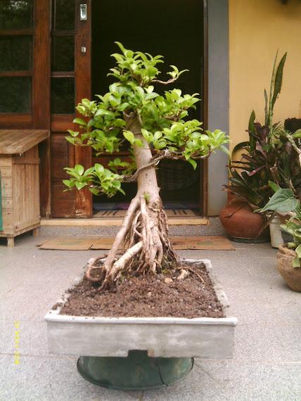 Ficus Microcarpa var. Indica... - Página 2 IMAG0045