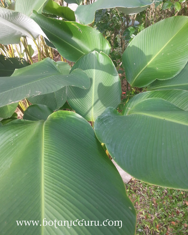 Calathea lutea, Cuban Cigar leaves
