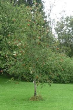 Jarząb pospolity - Sorbus aucuparia