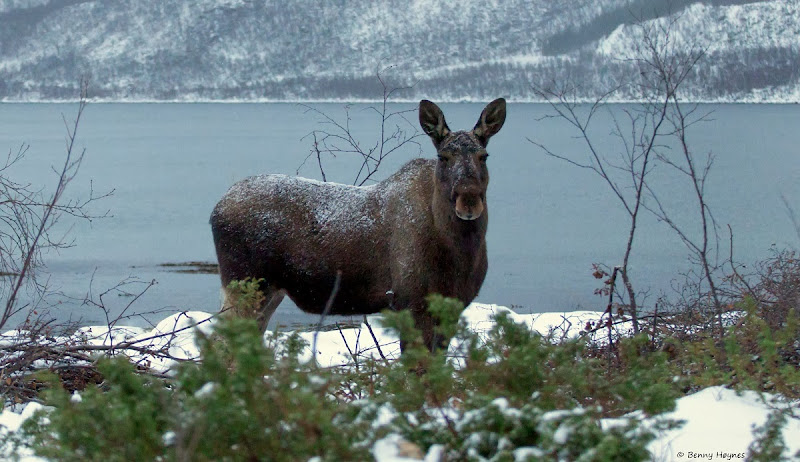 Winter in Norway: Moose cow 13.12.2013 from Holmen, Sortland, Norway