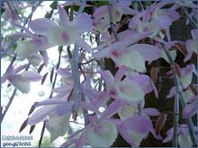 宛如蝴蝶群聚般的天宮石斛蘭(瀑布蘭)Dendrobium aphyllum