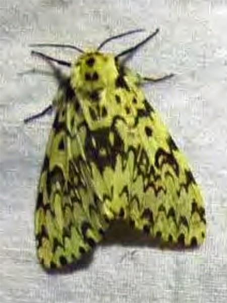 black arches moth