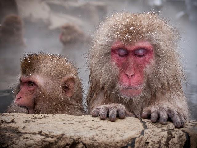 khỉ tuyết tắm suối nóng