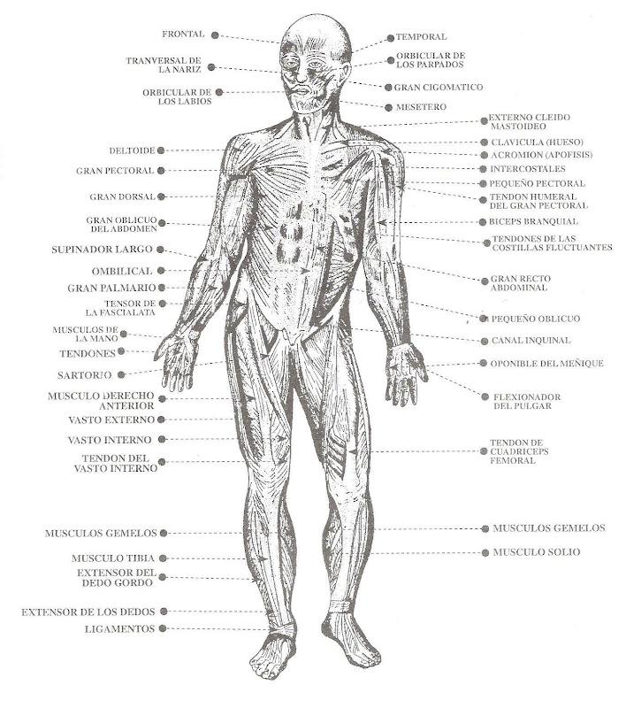 Pinto Dibujos: Músculos del cuerpo humano para colorear