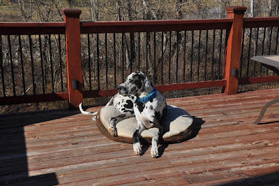 Remi the black and white Great Dane, laying on his dog bed on the back deck, looking toward the fence.