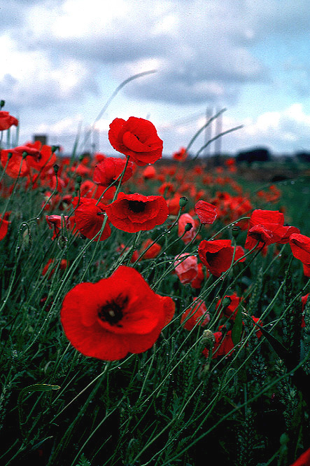 The Attractive Color Of Poppy Flowers A Symbol Of Both Sleep And