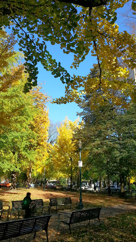 View of Chapman Square in downtown Portland on an October morning, with brilliant yellow ginkgo trees and a bright blue sky
