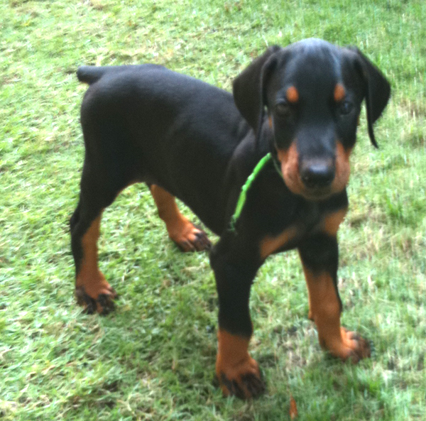 doberman dobermann puppy for sale kuala lumpur malaysia. Black Bedroom Furniture Sets. Home Design Ideas