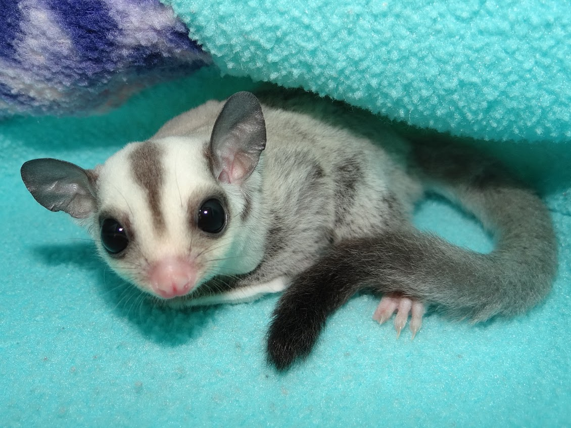 Taja - Female Platinum Sugar Glider