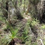 Grass tree on Highway Ridge (206335)