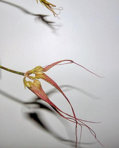 Bulbophyllum  Elizabeth Ann ' Buckleberry ' P1370273
