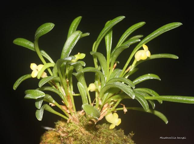 Triotosiphon bangii ( ex. Masdevallia bangii )  IMG_0773b%2520%2528Medium%2529