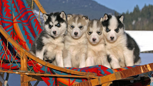 Six-Week-Old Siberian Husky Puppies.jpg